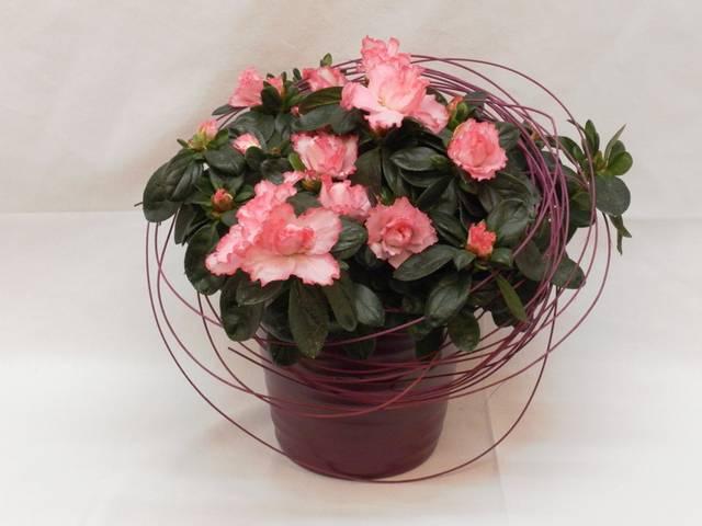 Bloeiende plant Azalea - 01